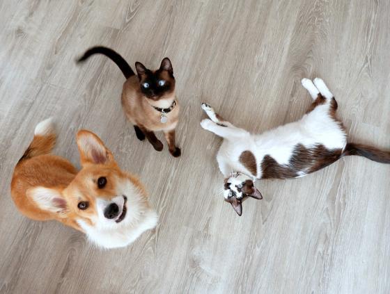 Prime vaccination des chats et des chiens